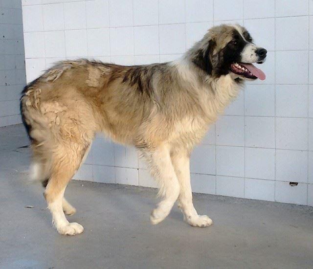 Δίνεται για υιοθεσία σκυλίτσα Αγίου Βερνάρδου