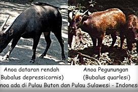 Anoa, Sapi Kecil di Pulau Sulawesi dan Pulau Buton Indonesia