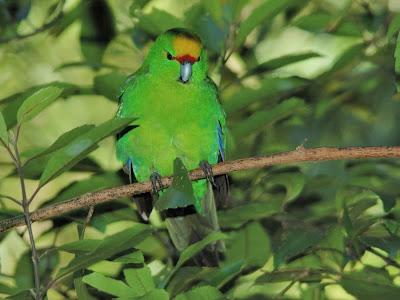 Yellow fronted parakeet