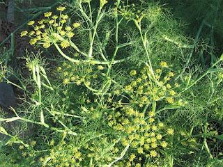 fenicul planta medicinala