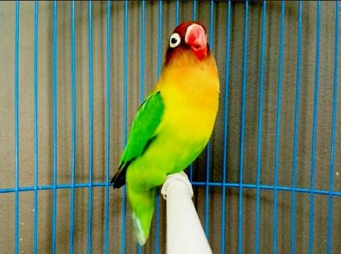 settingan single lovebird jantan