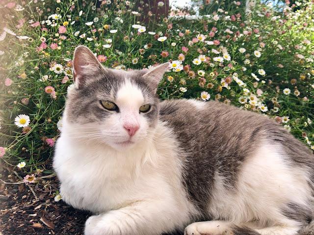 Sheffield Tasmania Tilly Cat