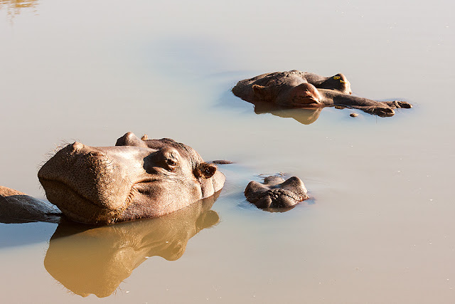 folaghe ippopotamo famiglia ippopotami kruger safari sud africa