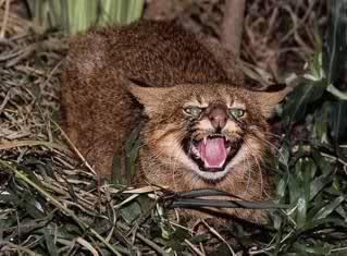 Gato de los pajonales Leopardus colocolo
