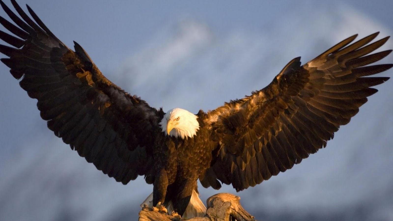 Beautiful Eagle Birds, Eagle, Eagle Wallpapers, Wallpapers Birds, Birds,عقاب, خلفيات نسر, صور نسر, نسر, خلفيات طيور,