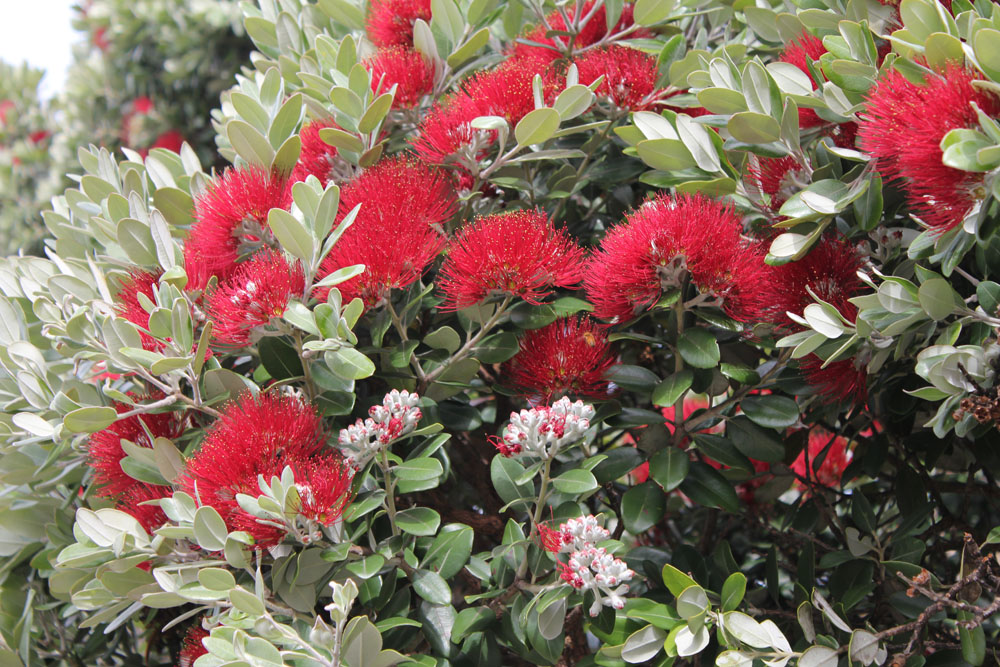saison kiwi nouvelle zélande