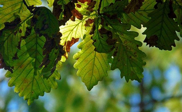 ROBLE BÚLGARO, roble de Strandzha  Quercus hartwissiana