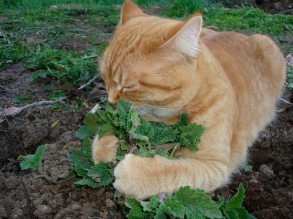 """Muốn """"khống chế"""" bọn mèo giặc, hãy trồng loại cây này"""