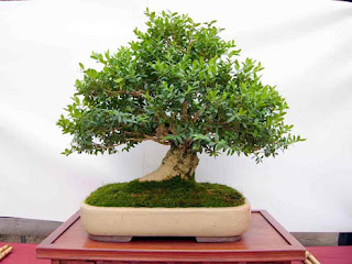 Bonsai Buxus Sempervirens Inutsuge Cuidados Verde Jardin