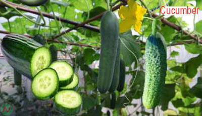 cucumber; cucumber vegetable