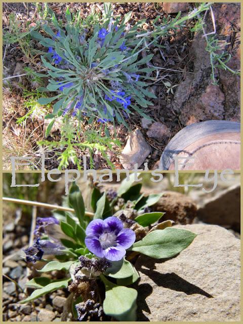 Karoo violets