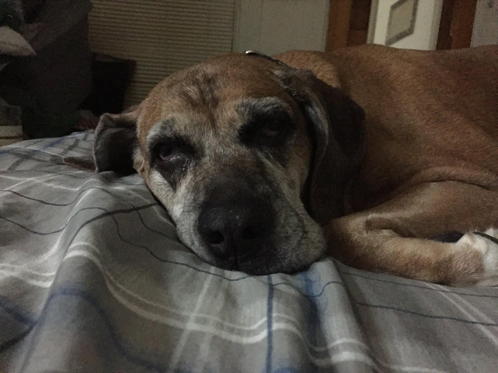 Vizsla Dog Bed Size