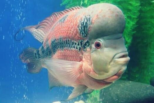 Download 880 Koleksi Gambar Ikan Louhan Terbesar Di Dunia Terpopuler