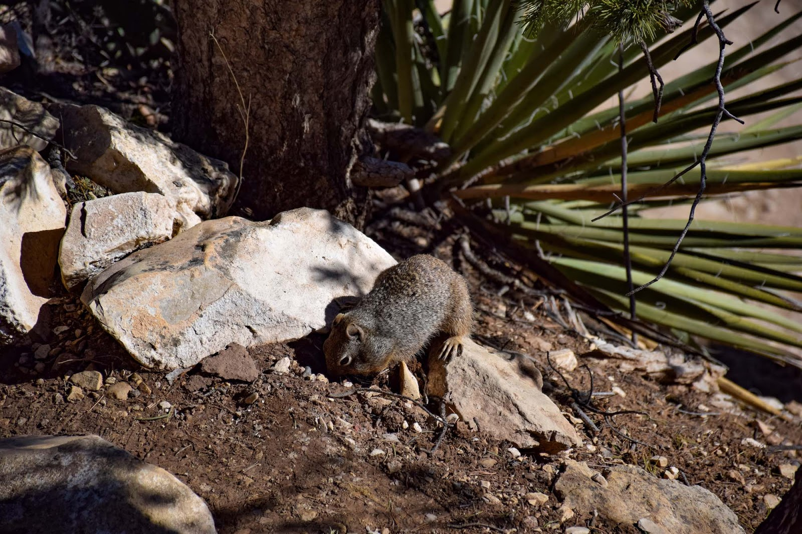 squirrel at the grand canyon