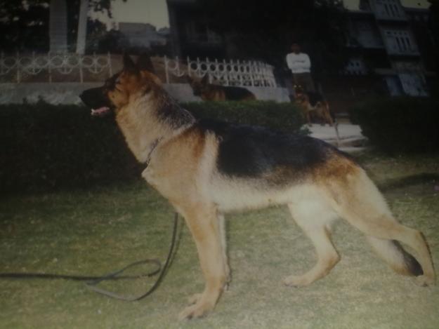 Pet Supplies Pakistan: Pure German Shepherd Puppy for sale