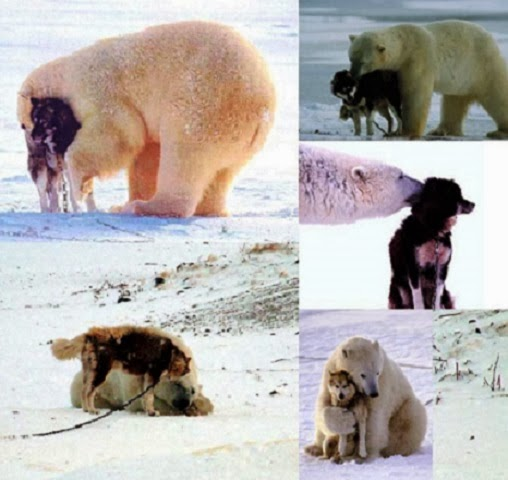 Adorable Polar Bear & Dog Friendship - Why aren't these two natural adversaries fighting viciously?