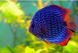 Jenis Ikan Hias Discus Dan Harganya Di Pasaran
