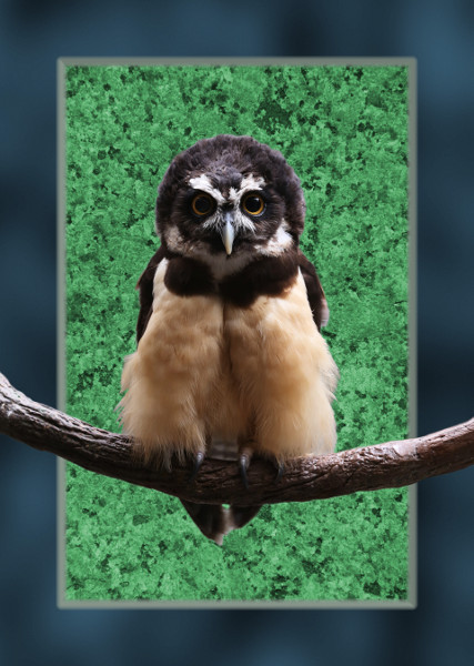 Spectacled Owl with Background