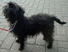 Black Affenpinscher Breed Dog