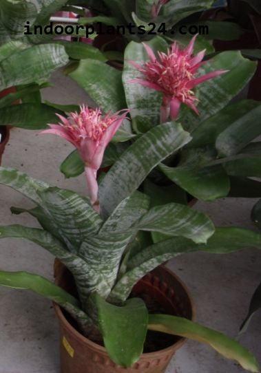 Bromeliaceae indoor house plant image