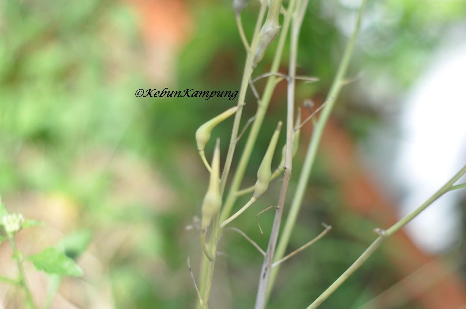 tuai benih lobak putih