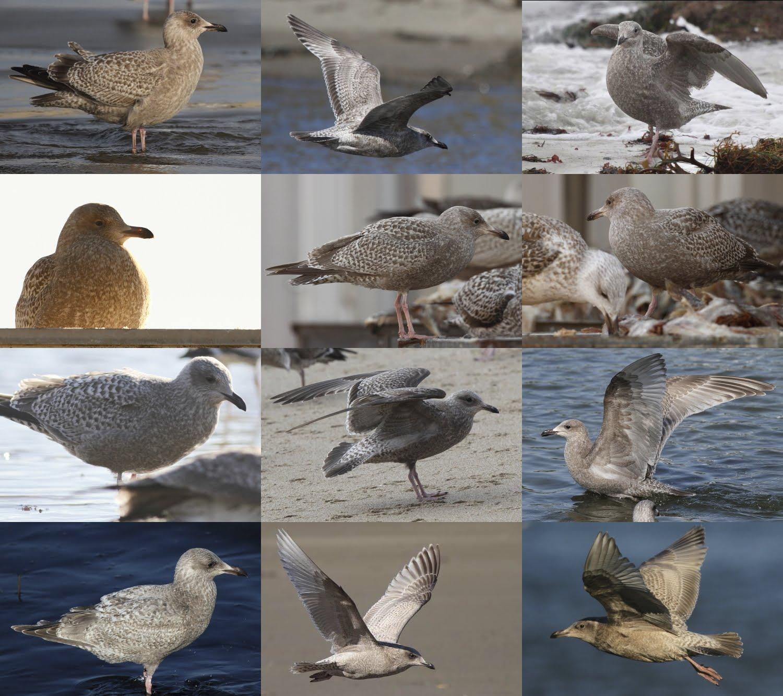 Thayer's Gull - 1st Winter - Aberdeenshire - Jan 2016 ... |Thayers Gull