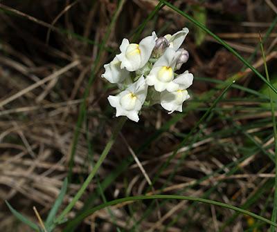 Flores amarillo pálido de Linaria supina subp. maritima