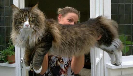 Harga Kucing Mainecoon