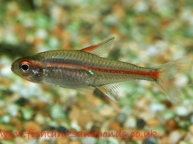 Gambar Ikan Hias Glowlight Tetra Profil Dan Cara Merawatnya
