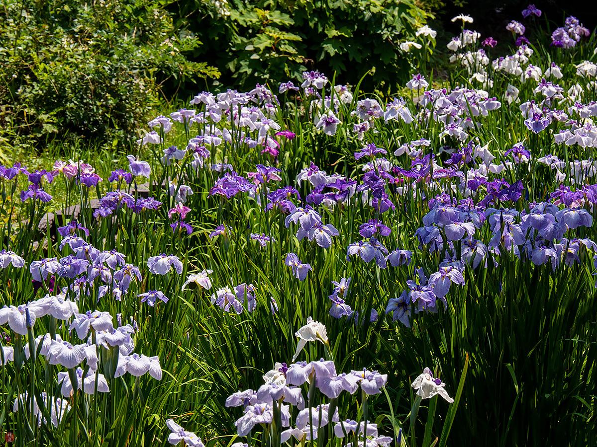 From The Garden Of Zen Hanashobu Iris Flowers Ofuna Botanical