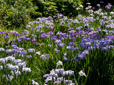 Hanashobu (iris) flowers: Ofuna botanical garden (Kamakura)
