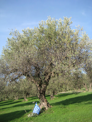 Drvo masline sa Krita