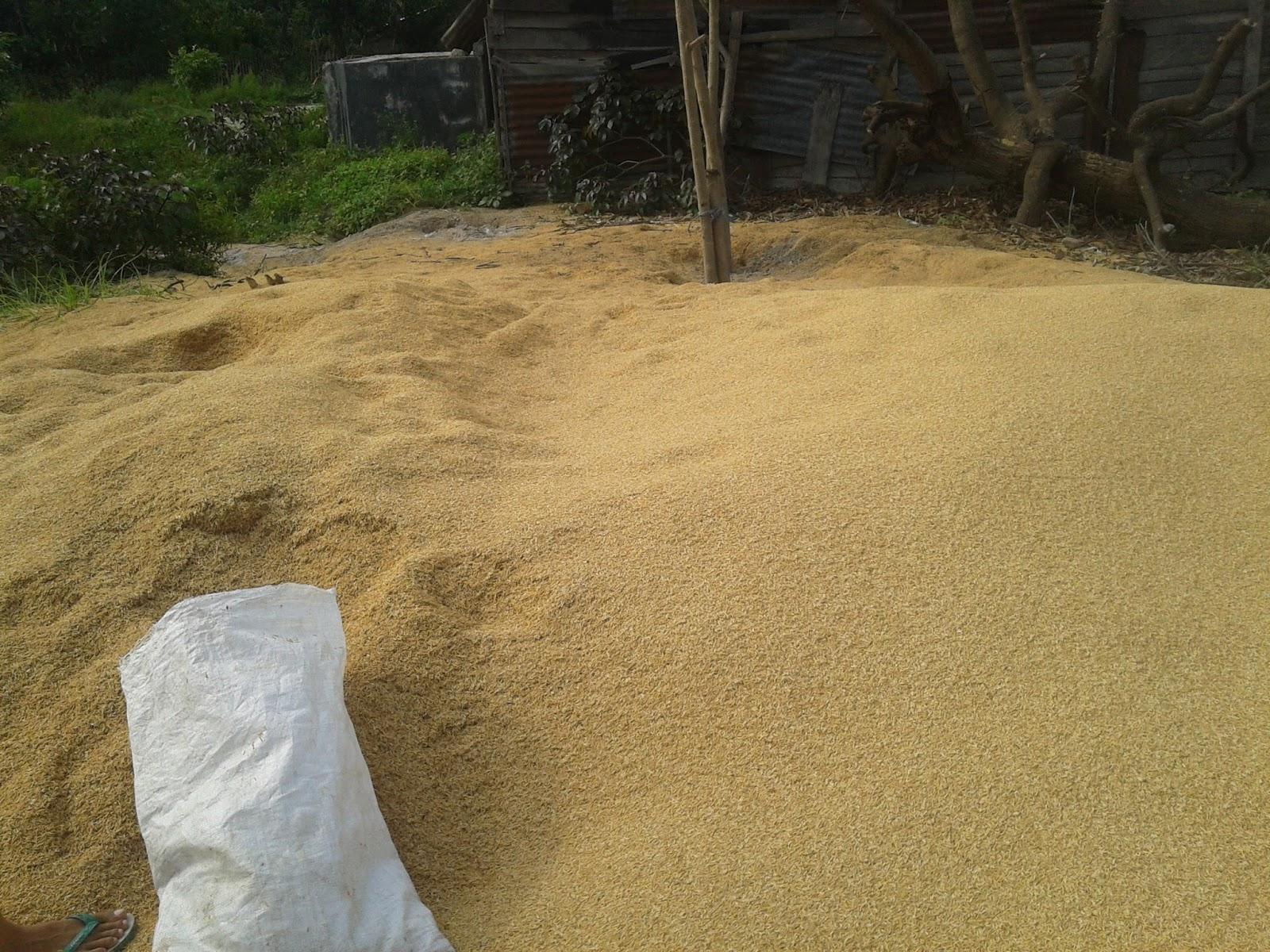 Pemanfaatan Limbah Pertanian Sekam Padi Menjadi Bahan