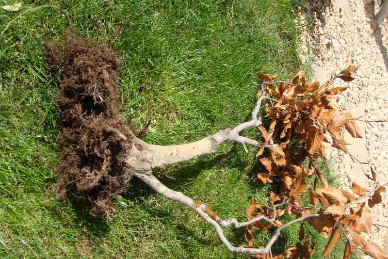 Mascotas y muchas m s cosas trasplantando mi bons i haya - Tierra para bonsais ...