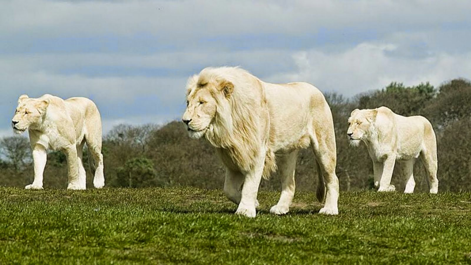 White Lion Hd Wallpaper Free Download