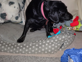 dog playing with dog toy