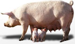 Foto de chancha dando teta a sus crías