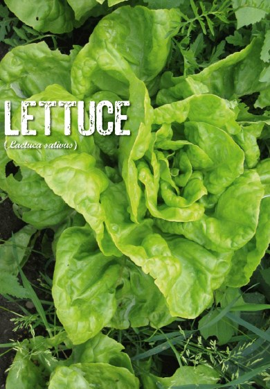 vegetable garden, lettuce, organic garden, healthy vegetables, green vegetables