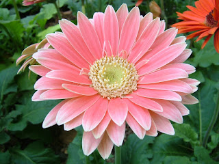 Een roze Gerbera