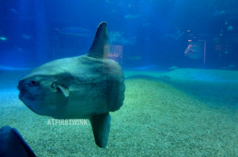 Osaka Aquarium Kaiyukan mola mola ocean sunfish