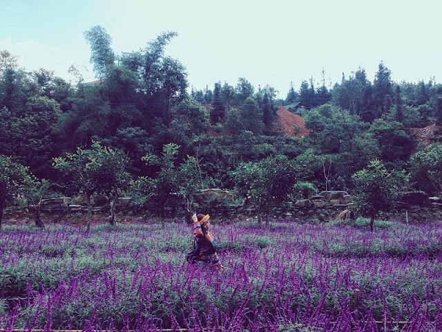 Lavender harvest season in Lao Cai 7