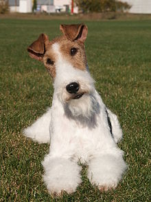 Everything about your Wire Fox Terrier