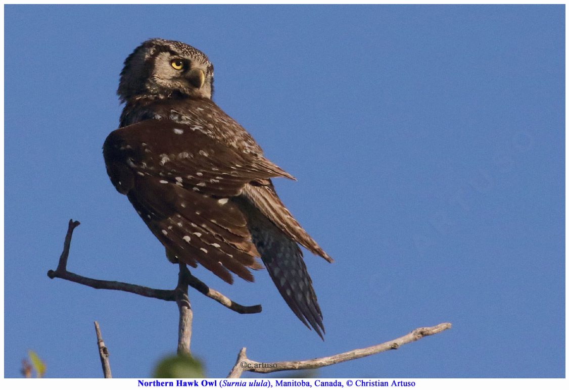 Christian Artuso: Birds, Wildlife: Northern Hawk Owls (Surnia ulula ...