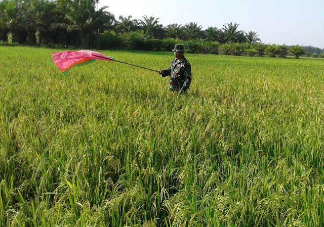 Agar Hasil Panen Sesuai Harapan Petani, Serda Suparman Bantu Halau Burung di Desa Securai Utara