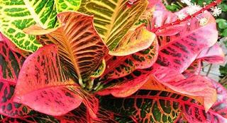 bunga puring import,bunga puring terbaru,jenis bunga puring,bunga puring kura,cara menanam bunga puring,kumpulan jenis bunga puring,jenis puring import,puring termahal di dunia,