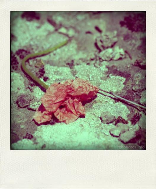 Fotografia polaroid di papavero