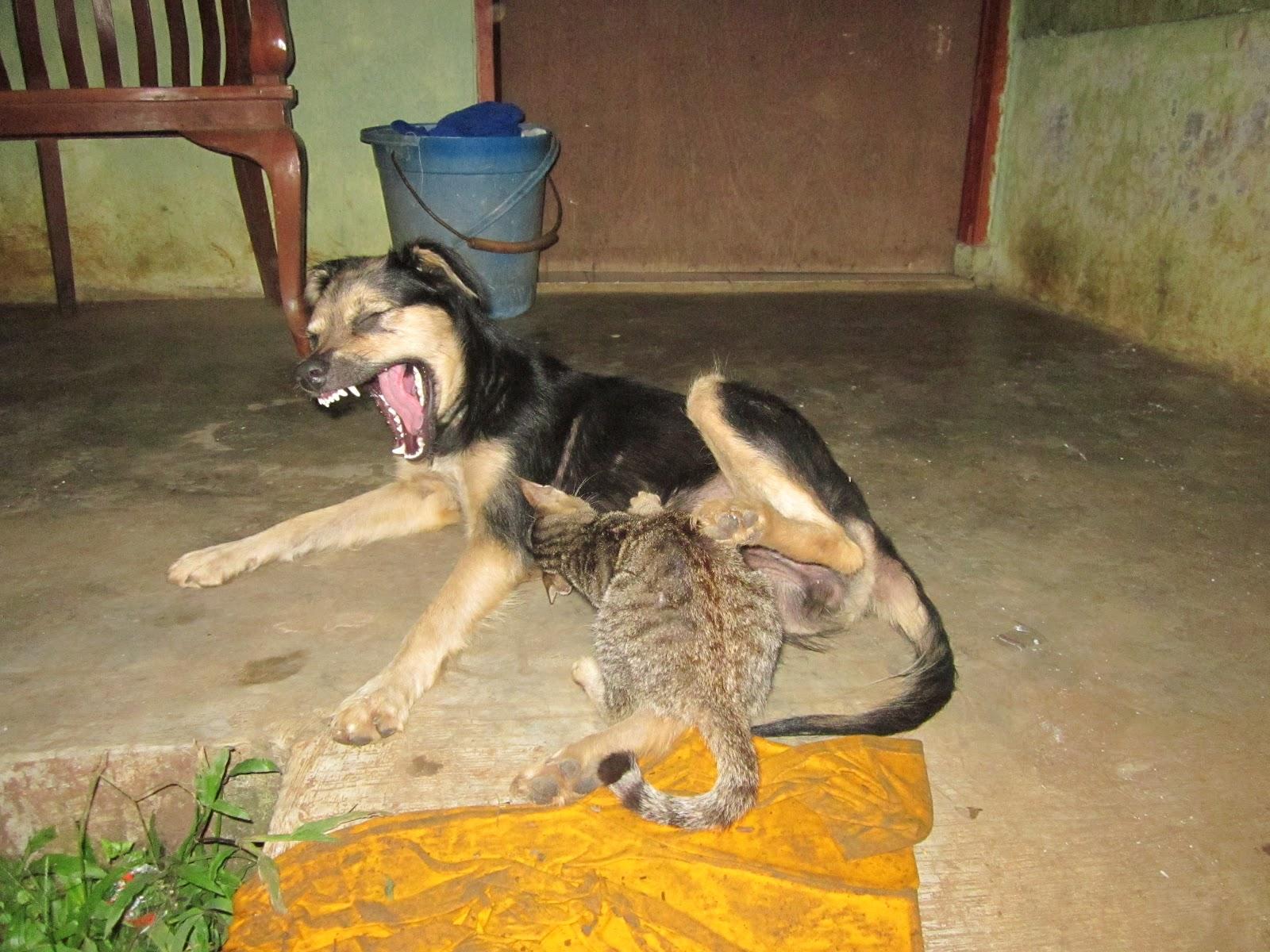 Unik Sekali Seekor Anjing Yang Menyusui Anak Kucing