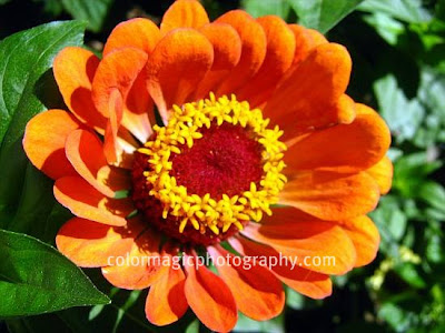 Orange Zinnia-macro photo