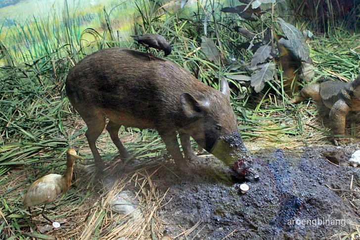 babi hutan museum zoologi bogor