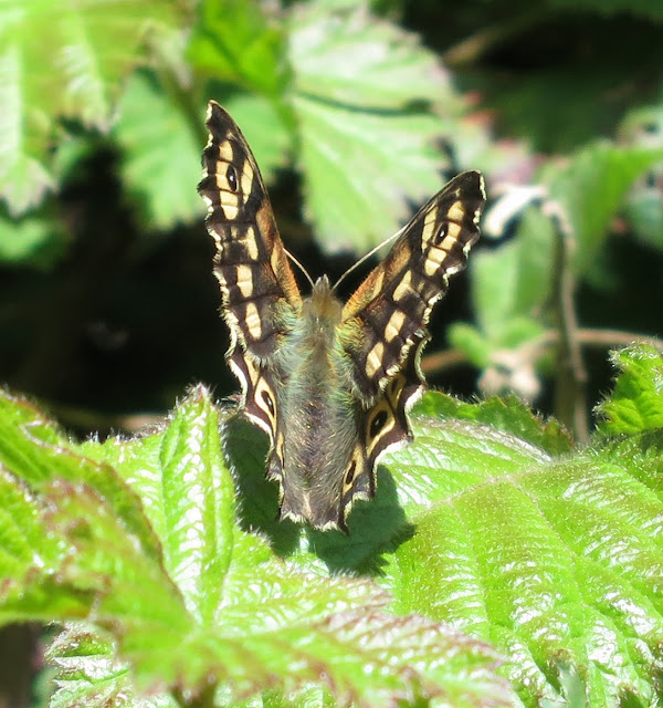 Speckled Wood Butterfly (Pararge aegeria) on leaf with wings part open.